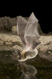 Michael Durham - Western Long-eared Myotis, high-desert transition zone in the Deschutes National Forest, Oregon