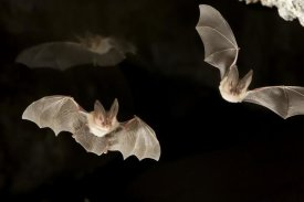 Michael Durham - Townsend's Big-eared Bats, Derrick Cave Complex, central Oregon