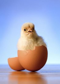 Michael Durham - Domestic Chicken hatchling in egg shell