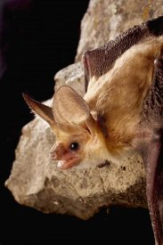 Michael Durham - Pallid Bat on rimrock at night, Washington