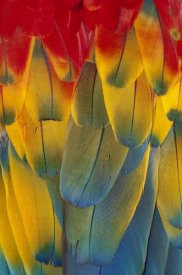 Michael Durham - Scarlet Macaw close-up of colorful feathers
