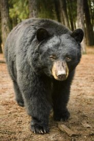 Michael Durham - Black Bear portrait during a mild winter, Oregon