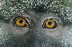 Michael Durham - Allen's Swamp Monkey detail of eyes, native to Africa