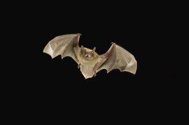 Michael Durham - Little Brown Bat flying at night, Coconino National Forest, Arizona