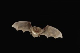 Michael Durham - Southeastern Myotis bat flying at night, Big Thicket National Preserve, Texas