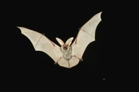 Michael Durham - Spotted Bat flying at night near the edge of the Grand Canyon, Kaibab National Forest, Arizona