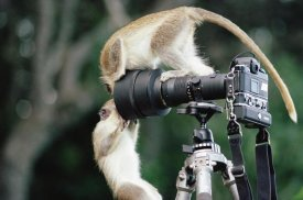 Gerry Ellis - Black-faced Vervet Monkeys playing on camera and tripod, Barbados