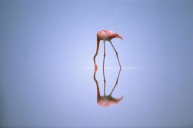 Gerry Ellis - Greater Flamingo feeding, Africa