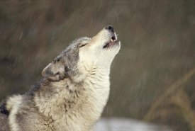 Gerry Ellis - Timber Wolf howling, temperate North America