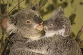 Gerry Ellis - Koala mother with joey, eastern temperate Australia