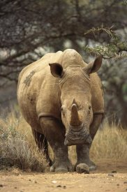 Gerry Ellis - White Rhinoceros female, Lewa Wildlife Conservancy, Kenya