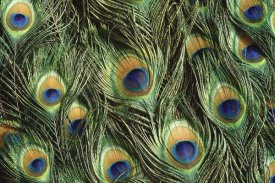 Gerry Ellis - Indian Peafowl display feathers, native to India and southeast Asia