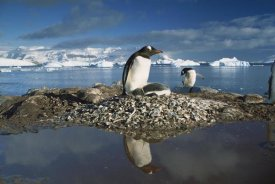 Gerry Ellis - Gentoo Penguin parent on nest with chicks surrounded by flood water, Antarctic Peninsula