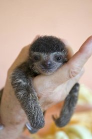 Suzi Eszterhas - Brown-throated Three-toed Sloth baby, Aviarios Sloth Sanctuary, Costa Rica