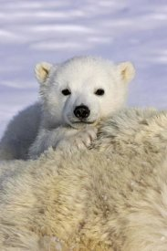 Suzi Eszterhas - Polar Bear cub peeking over mother's body, Wapusk National Park, Manitoba, Canada
