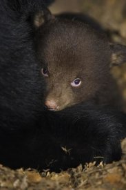 Suzi Eszterhas - Black Bear 7 week old cub in den
