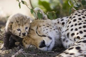 Suzi Eszterhas - Cheetah mother and seven day old cub, Maasai Mara Reserve, Kenya