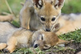 Suzi Eszterhas - Black-backed Jackal pups, six weeks old, playing, Masai Mara, Kenya