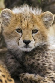 Suzi Eszterhas - Cheetah ten to twelve week old cub portrait, Maasai Mara Reserve, Kenya