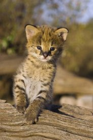 Suzi Eszterhas - Serval kitten, two and a half week old orphan, Masai Mara Reserve, Kenya