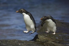 Suzi Eszterhas - Rockhopper Penguin hopping from rock to rock, New Island, Falkland Islands