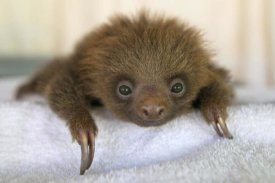 Suzi Eszterhas - Hoffmann's Two-toed Sloth orphaned baby, Aviarios Sloth Sanctuary, Costa Rica