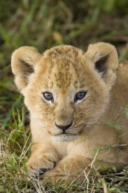 Suzi Eszterhas - African Lion five week old cub, vulnerable, Masai Mara National Reserve, Kenya