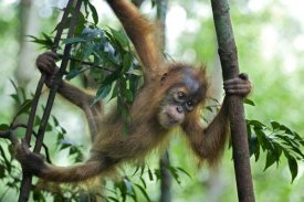 Suzi Eszterhas - Sumatran Orangutan six month old baby playing in tree, north Sumatra, Indonesia