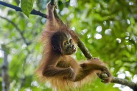 Suzi Eszterhas - Sumatran Orangutan nine month old baby playing in tree, north Sumatra, Indonesia