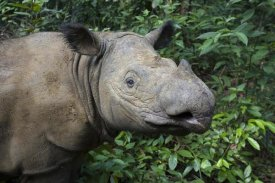 Suzi Eszterhas - Sumatran Rhinoceros, Sumatran Rhino Sanctuary, Way Kambas National Park, Indonesia