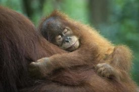 Suzi Eszterhas - Sumatran Orangutan two and a half year old baby sleeping on mother, north Sumatra, Indonesia