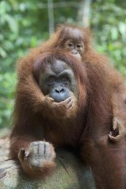 Suzi Eszterhas - Sumatran Orangutan mother and playful two and a half year old baby, north Sumatra, Indonesia