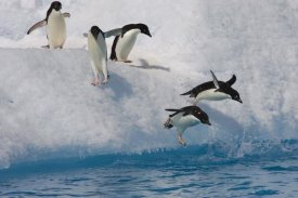Suzi Eszterhas - Adelie Penguin group jumping and diving off iceberg into cold water, Paulet Island, Antarctica