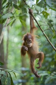 Suzi Eszterhas - Sumatran Orangutan one and a half year old baby dangling from tree branch, north Sumatra, Indonesia