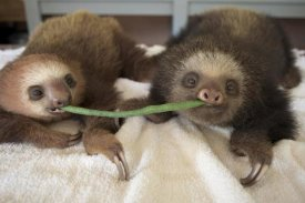 Suzi Eszterhas - Hoffmann's Two-toed Sloth orphaned babies sharing string bean, Aviarios Sloth Sanctuary, Costa Rica