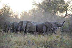 Suzi Eszterhas - African Elephant upset herd gathering after smelling blood from wild dog kill, Okavango Delta, Botswana