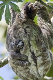 Suzi Eszterhas - Brown-throated Three-toed Sloth mother with newborn baby climbing tree, Aviarios Sloth Sanctuary, Costa Rica