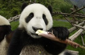 Katherine Feng - Young Panda learning to eat bamboo, Wolong Nature Reserve, China
