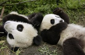 Katherine Feng - Pair of young pandas playing, Wolong Nature Reserve, China
