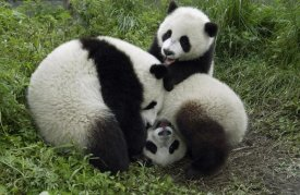 Katherine Feng - Three young pandas playing, Wolong Nature Reserve, China