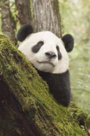 Katherine Feng - Xiang Xiang, first captive raised panda to be released into the wild, China