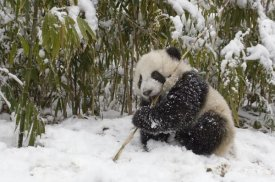 Katherine Feng - Giant Panda cub eating bamboo, Wolong Nature Reserve, China