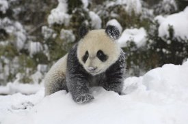 Katherine Feng - Giant Panda cub playing in the snow, Wolong Nature Reserve, China