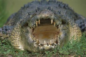 Jean-Paul Ferrero - Saltwater Crocodile or Estuarine Crocodile with open mouth, northern Australia