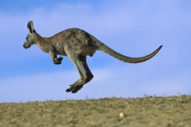 Jean-Paul Ferrero - Wallaroo or Euro Kangaroo hopping, Sturt National Park, New South Wales, Australia