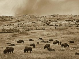Tim Fitzharris - American Bison herd grazing on shortgrass prairie, Theodore Roosevelt National Park, North Dakota