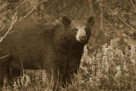 Tim Fitzharris - Black Bear portrait, North America
