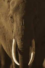 Tim Fitzharris - African Elephant male portrait with long tusks, Kenya