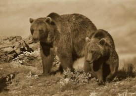 Tim Fitzharris - Grizzly Bear mother with a one year old cub, North America