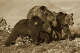 Tim Fitzharris - Grizzly Bear mother with two one year old cubs, North America